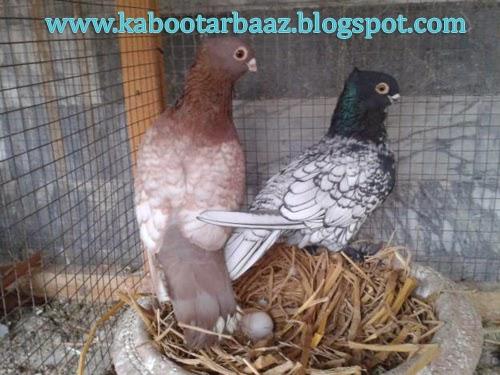 Bueatiful Pigeon