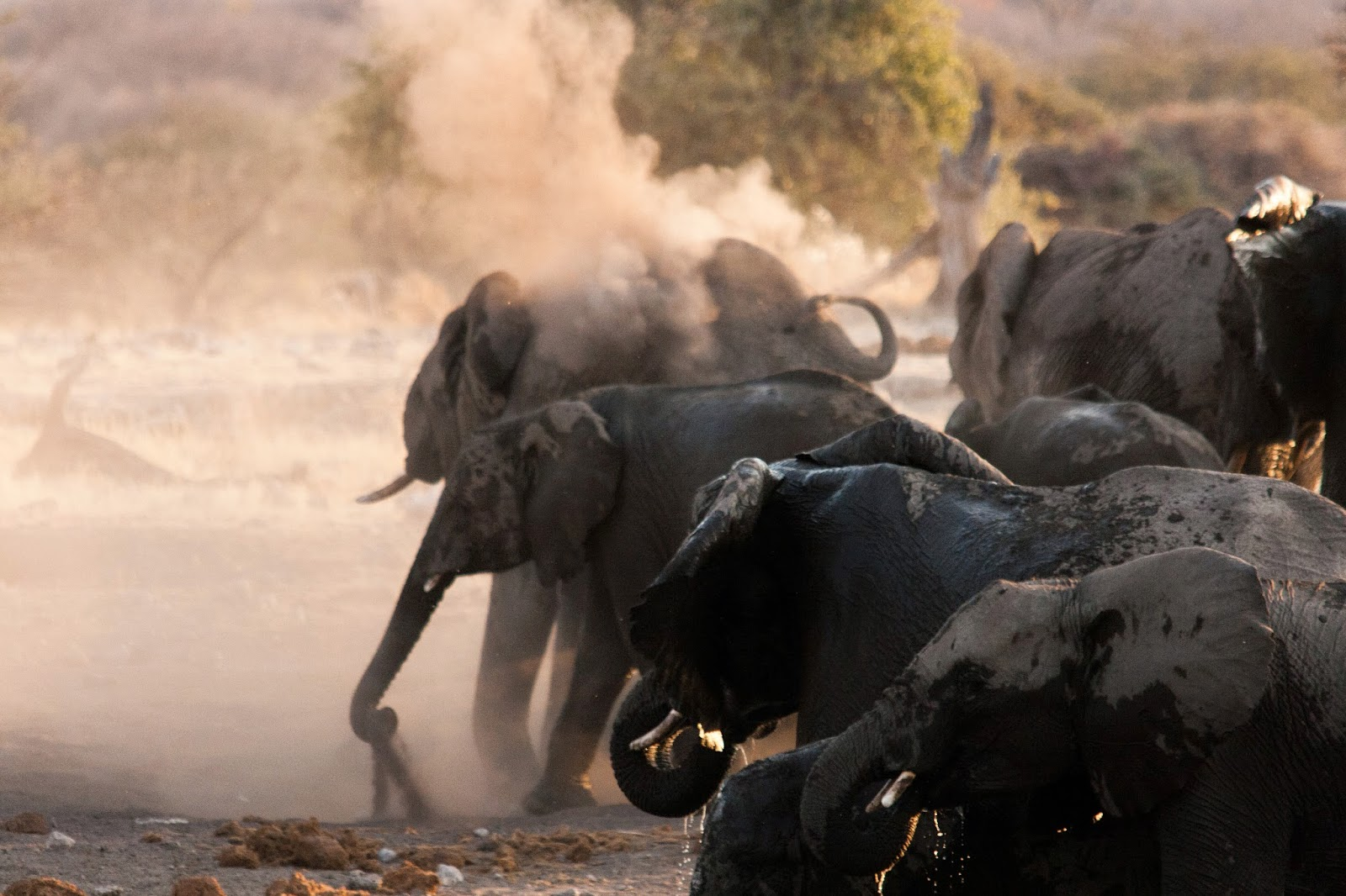 elephants dust bathing etosha namibia