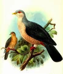 Paloma montana de Buru: Gymnophaps mada