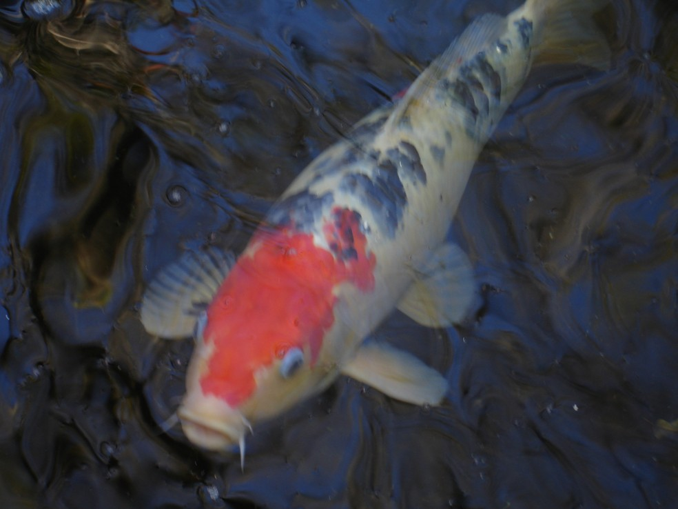Blue starr gallery bamboo koi in selby gardens for Ornamental carp fish