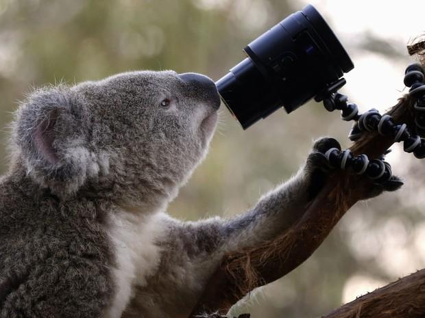 Exemplar de coala que vive em zoológico de Sydney, na Austrália (Foto: David Gray/Reuters)