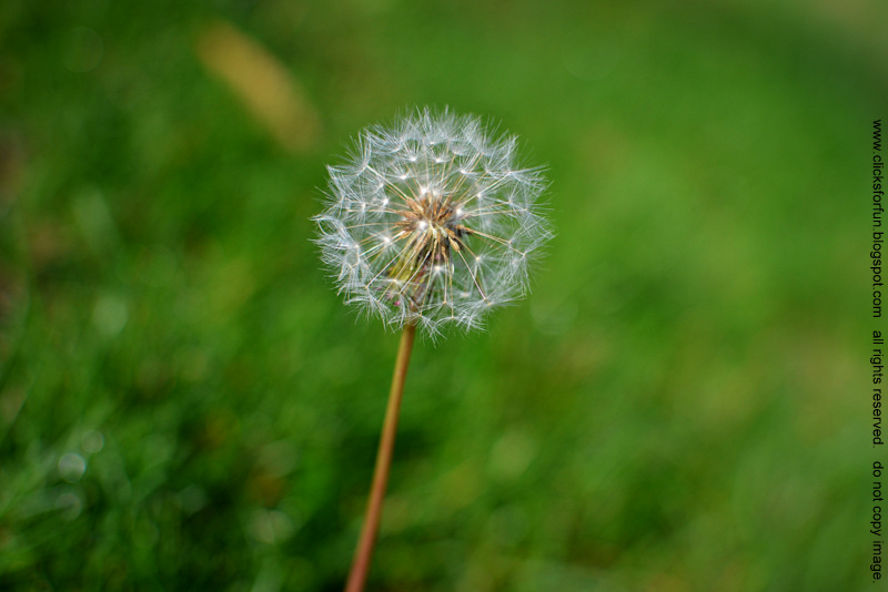 Whispers in The Wind - Dandelion Puffs - Nature Photography Blog