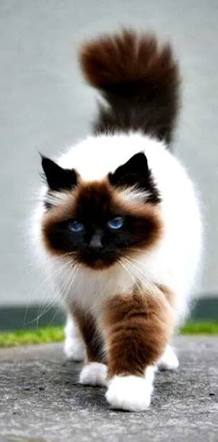 5 Cat Breeds From Asia & Africa