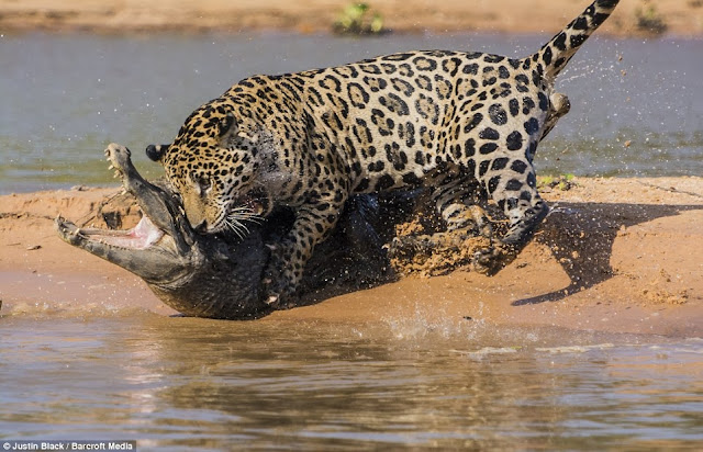 onça-pintada-caçando