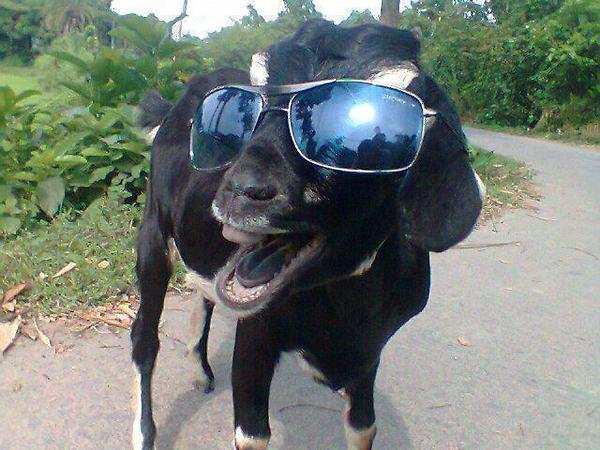 funny animal pictures, goat wears sunglasess
