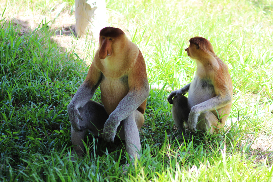 Labuk Bay Proboscis Monkey Sanctuary Borneo Posh, Broke, & Bored