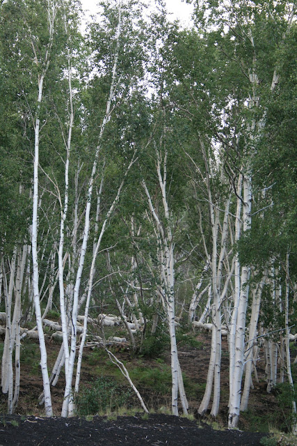 Grazing sheep in an Etna birch forest