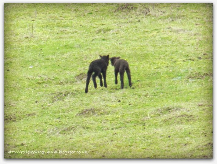 black lambs, Butser Ancient Farm