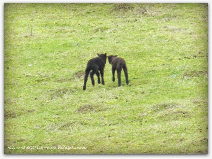 black lambs, Butser Ancient Farm