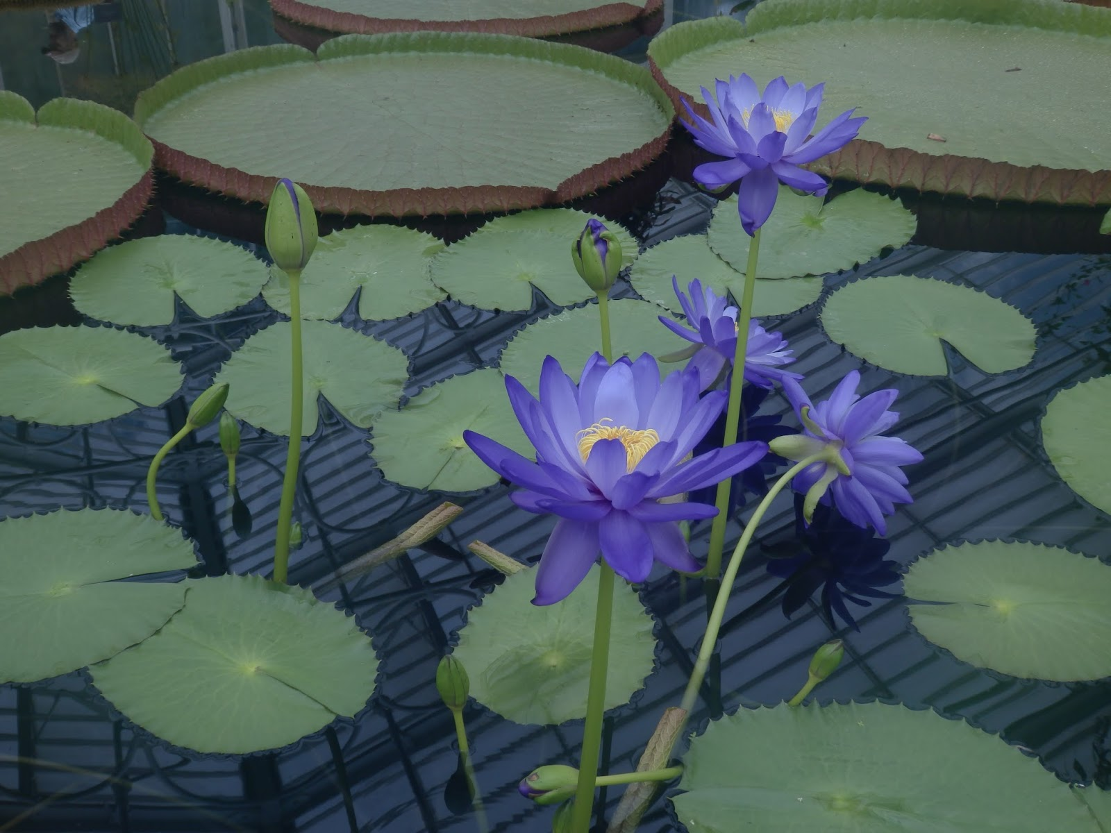 Judith i bridgland july 2015 a swelteringly hot waterlily house and the princess of wales conservatory the waterlilies are only viewable during the summer months when they flower izmirmasajfo