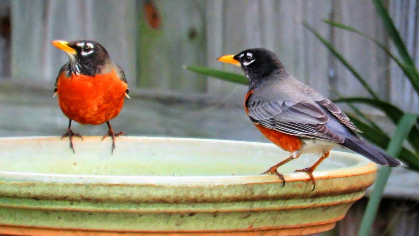 American Robins in birdbath