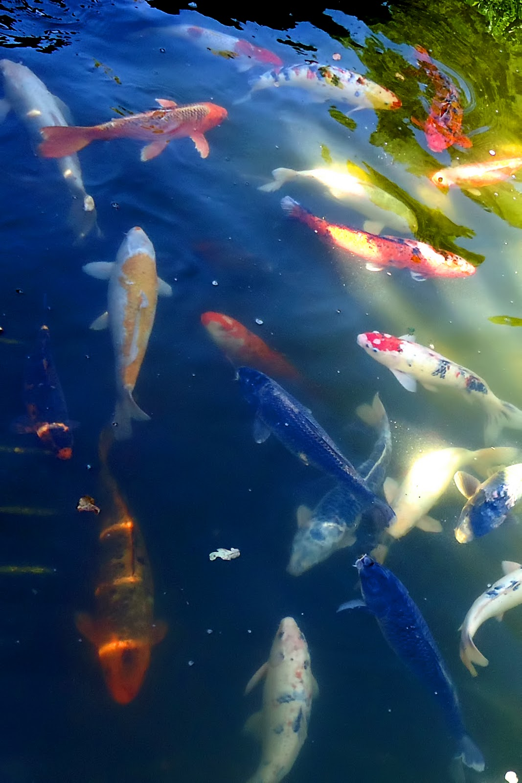 The nature of framingham koi in california for Koi ponds near me