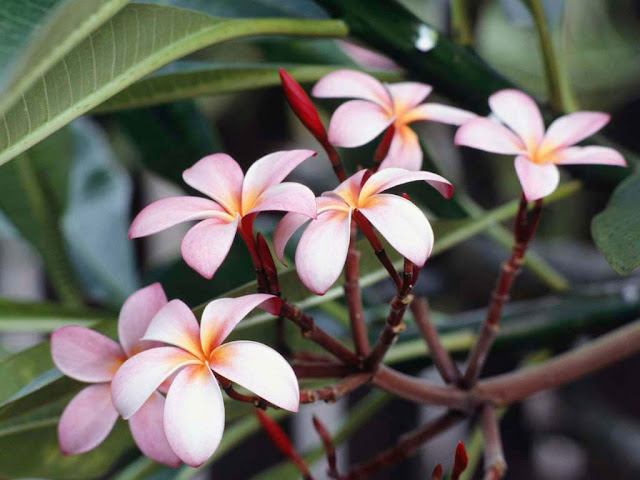 Beautiful Frangipani Flowers Collections