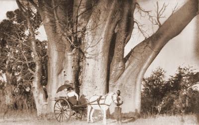 Victoria Falls Big Tree, 1915