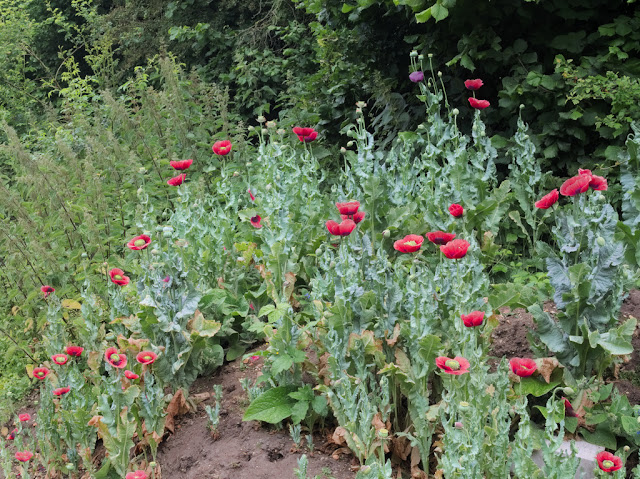 Cultivated red poppies growing on bare earth beside access road