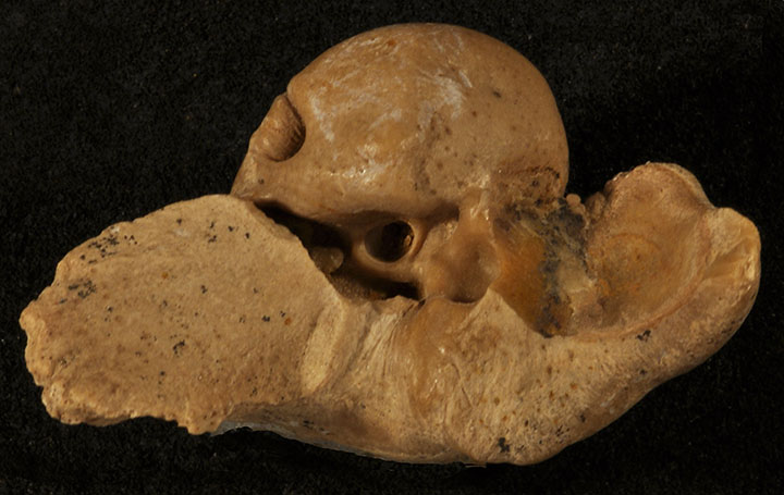 PALEO & GEO TOPICS: Comments by R. L. Squires: Fossil dolphin ear bones