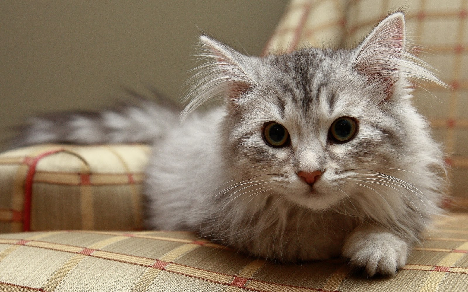 Siberian Cat Other Names