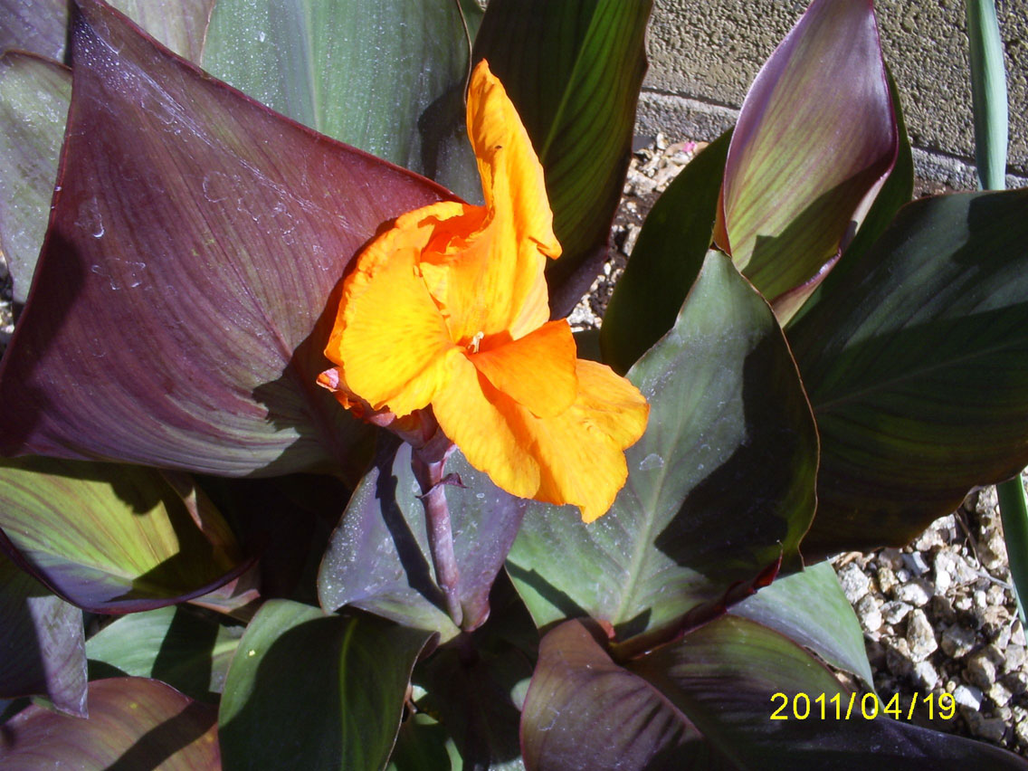 Brad s Tropical Paradise The first Canna flower of the season