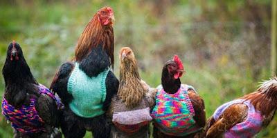 Wanita Ini Merajut Baju Untuk Menghangatkan Ayam Ternaknya
