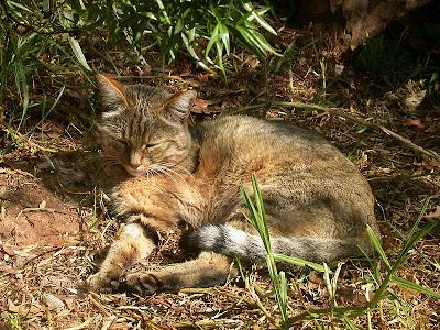 African Wildcat sleeping