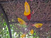 温室に入って直ぐ「ツンベルギア マイソレンシス(キツネノマゴ科)」はインド南部が原産地という。