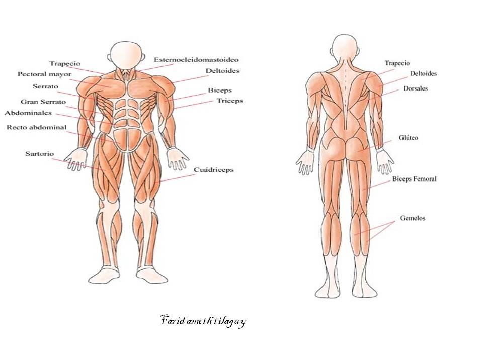 Único Trazar Los Músculos Humanos Molde - Anatomía de Las ...