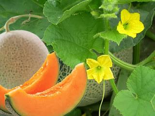5 Khasiat Manfaat Buah Melon Untuk Kesehatan