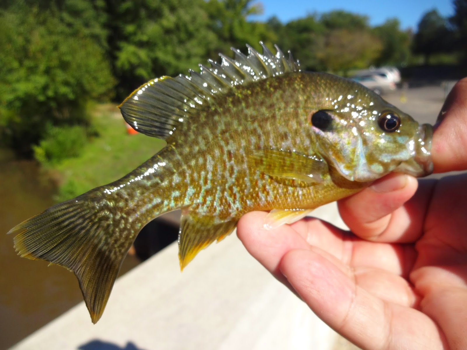 A beautiful green sunfish x bluegill hybrid from the for Two fish haddonfield
