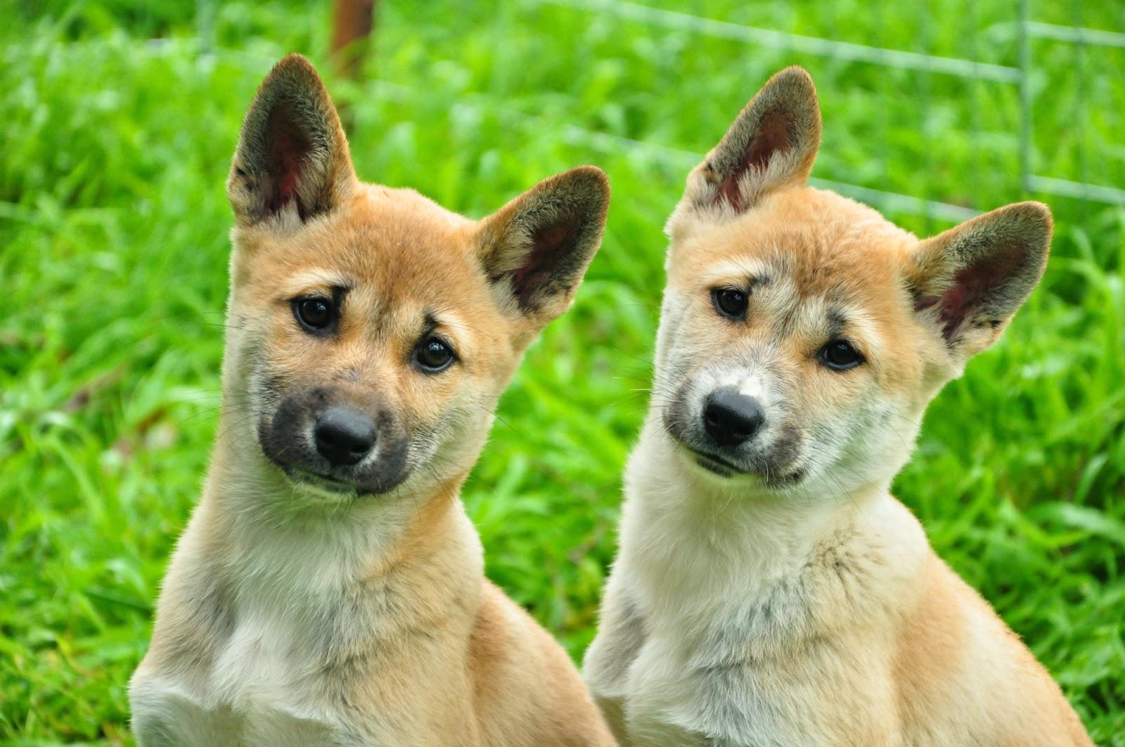 Dingo puppies cute - photo#1