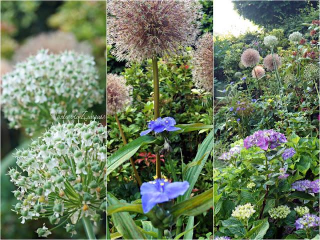 Weiße und violette Samenstände vom Zierlauch, neben blühenden Hortensien