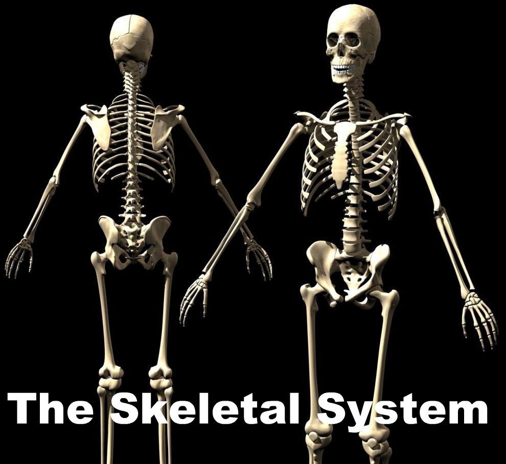 Body Skeletal System