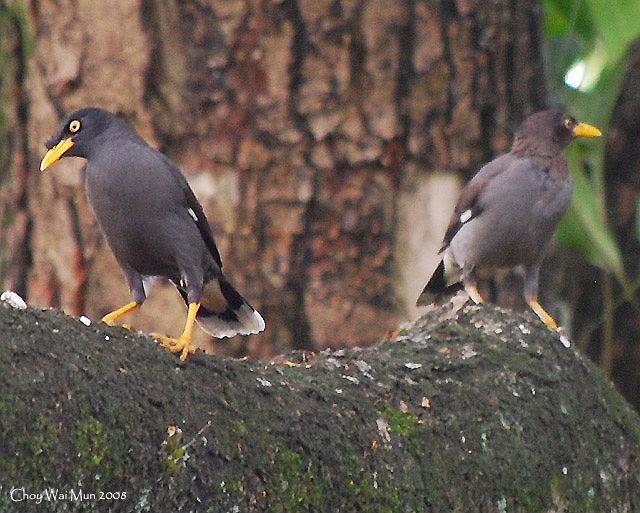 Gambar Cara Merawat Burung Jalak Malaysia