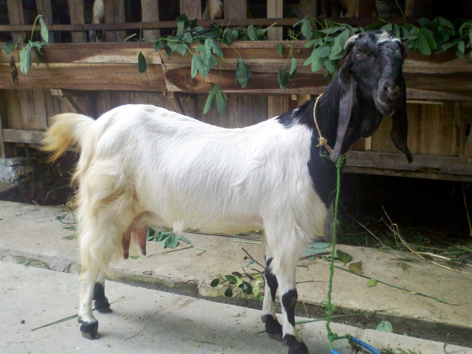 http://ternakpertama.blogspot.com/2014/11/penyakit-paling-sering-terjadi-pada.html