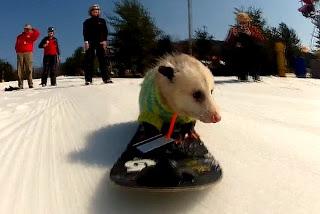 Funny Opossum