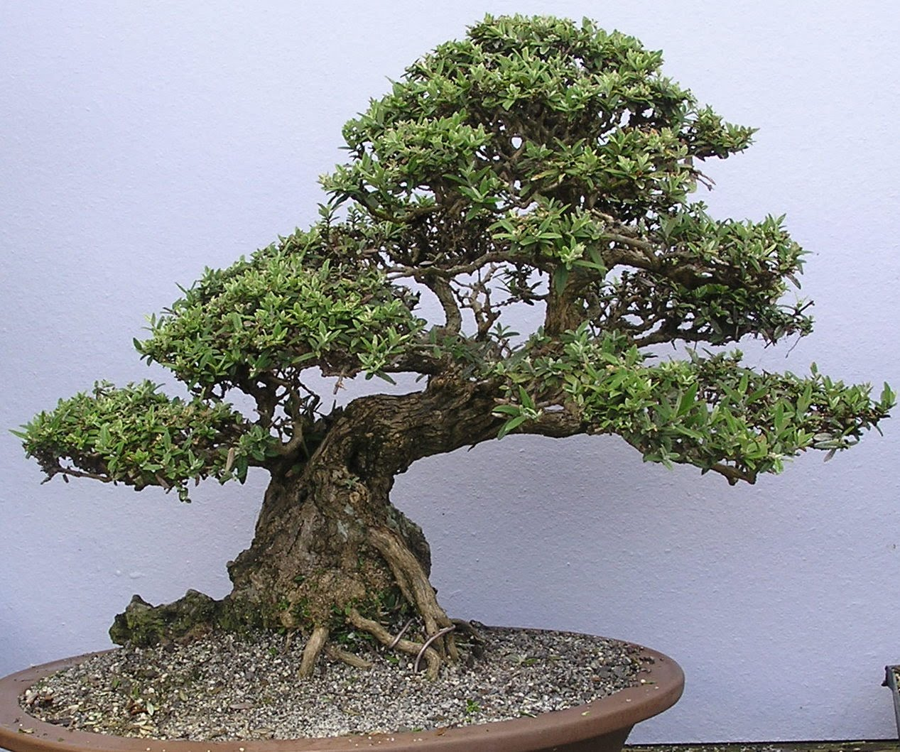 World39s Most Amazing Things Amazing Bonsai Trees