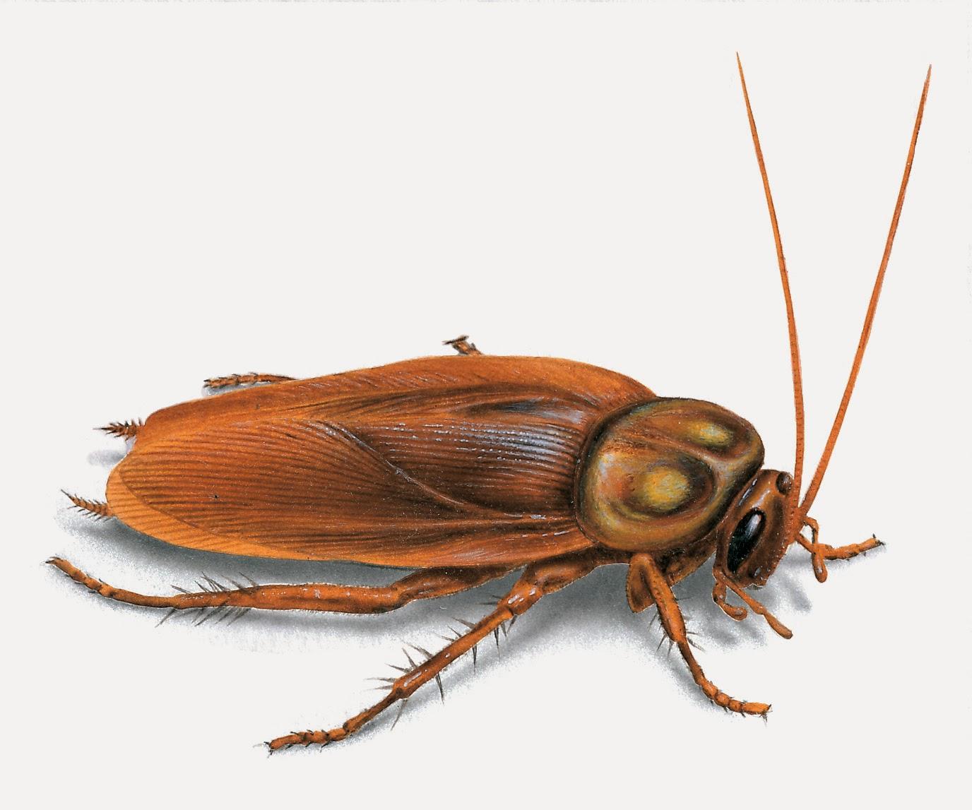 المرأة العصرية ^____^ american-cockroach-i