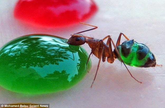 http://www.liataja.com/2015/03/sains-indahnya-warna-warni-perut-semut.html