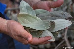 grabbed bunch of fresh bay leafs near Jhari Water Falls