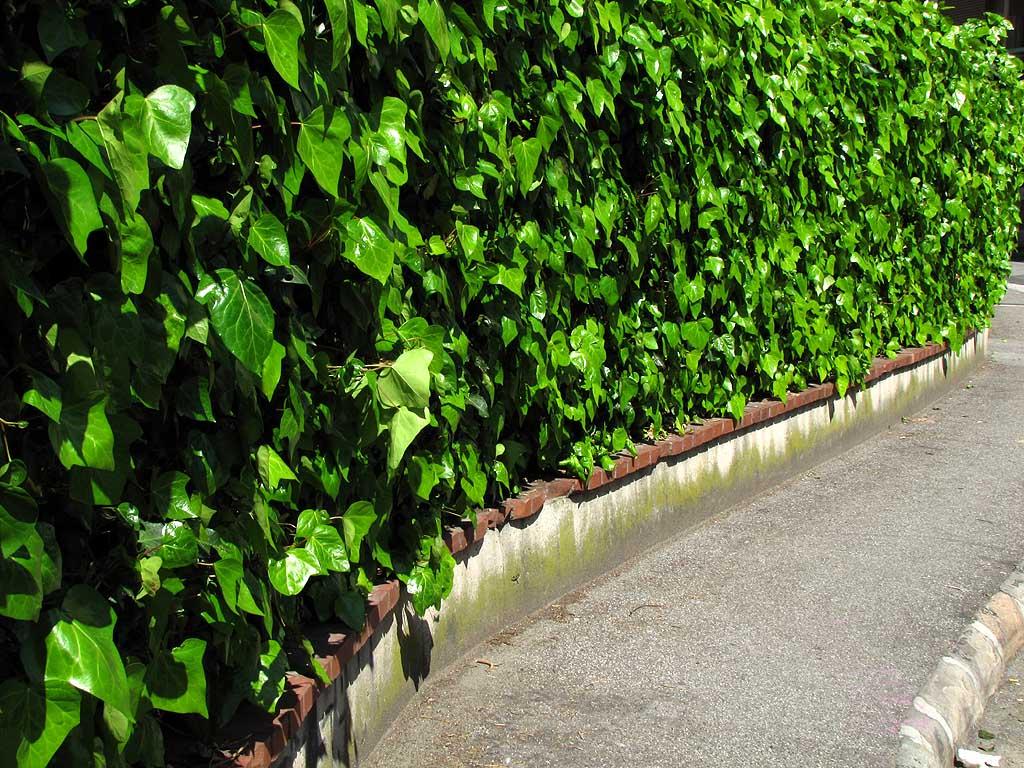 Lush green hedge, Benci school, Livorno