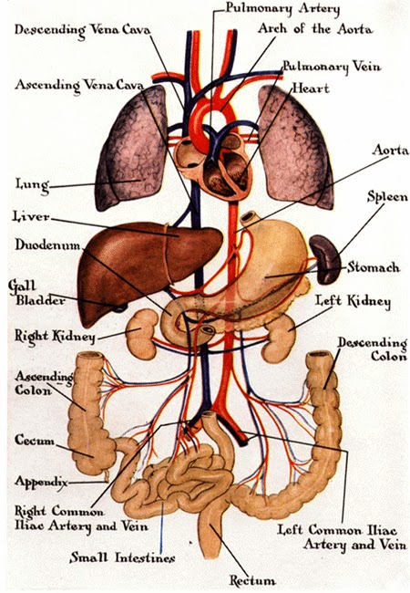 The Most Wonderful Creature: The inside of the human body
