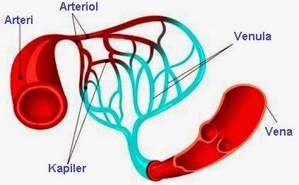 Pengertian, Fungsi, dan Ciri-Ciri Pembuluh Darah Kapiler