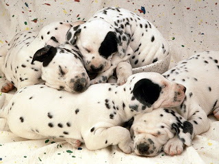Cute Dalmatian Puppies Pictures