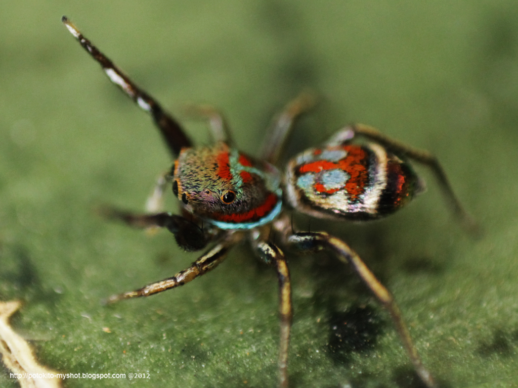 Colorful jumping spider - photo#1