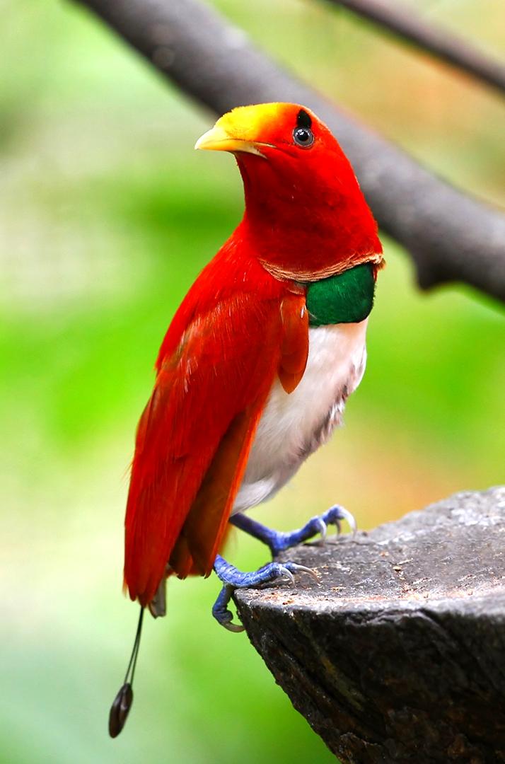 Cendrawasih Raja King Bird Of Paradise Cicinnurus Regius