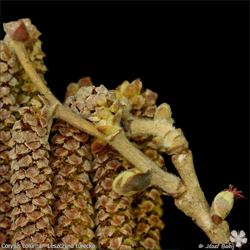 Corylus colurna female flower - Leszczyna turecka kwiat żeński