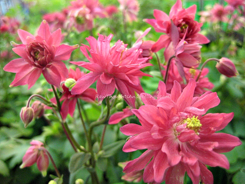different type of pink columbine  raw thoughts and feelings, Beautiful flower