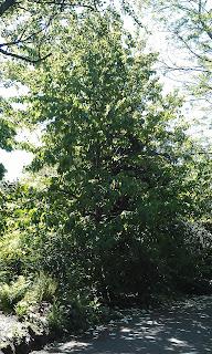 Davidia vilmoriniana - Handkerchief Tree Ruskin Park