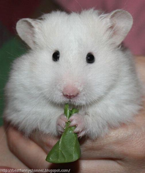 white hamster