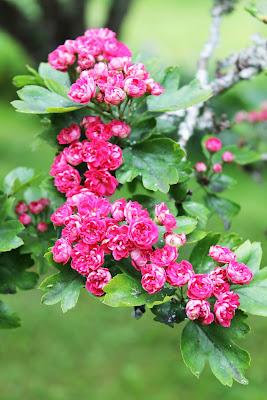 Små rosa rosenlika blommor sitter i klasar och har gett rosenhagtornen dess namn