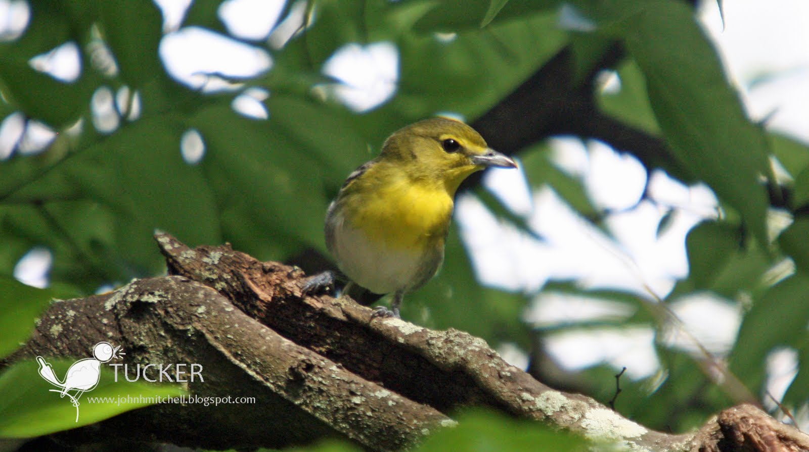 Yellow throated vireo fall - photo#6